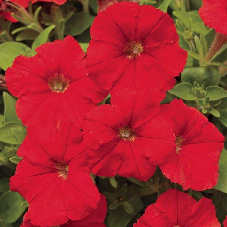 Петуния Крупноцветковая Игл насыщенно-красная,  семена цветов, Legutko, Польша.