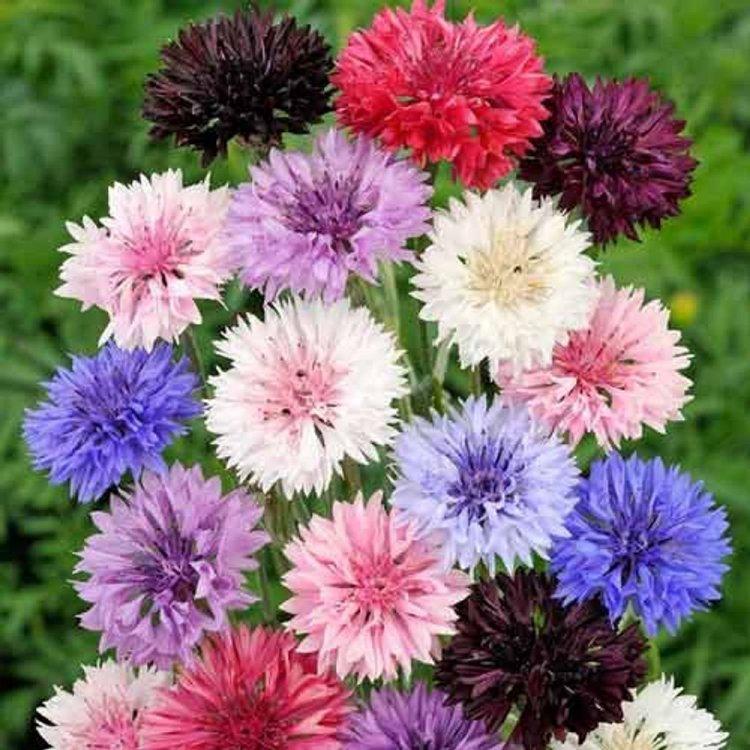 Василек синий, смесь, семена цветов, Legutko, Польша