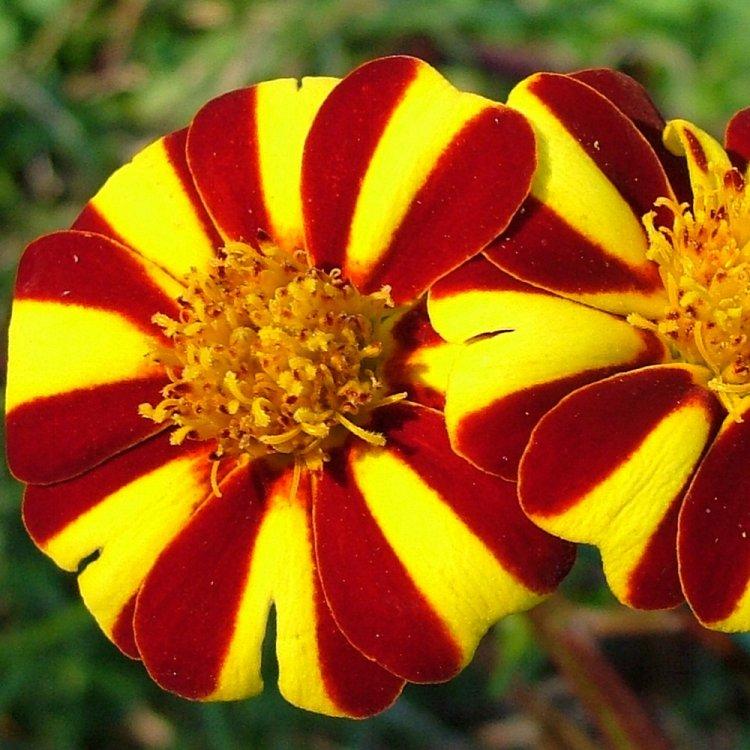 Бархатцы Полосатое чудо, семена цветов, Legutko, Польша