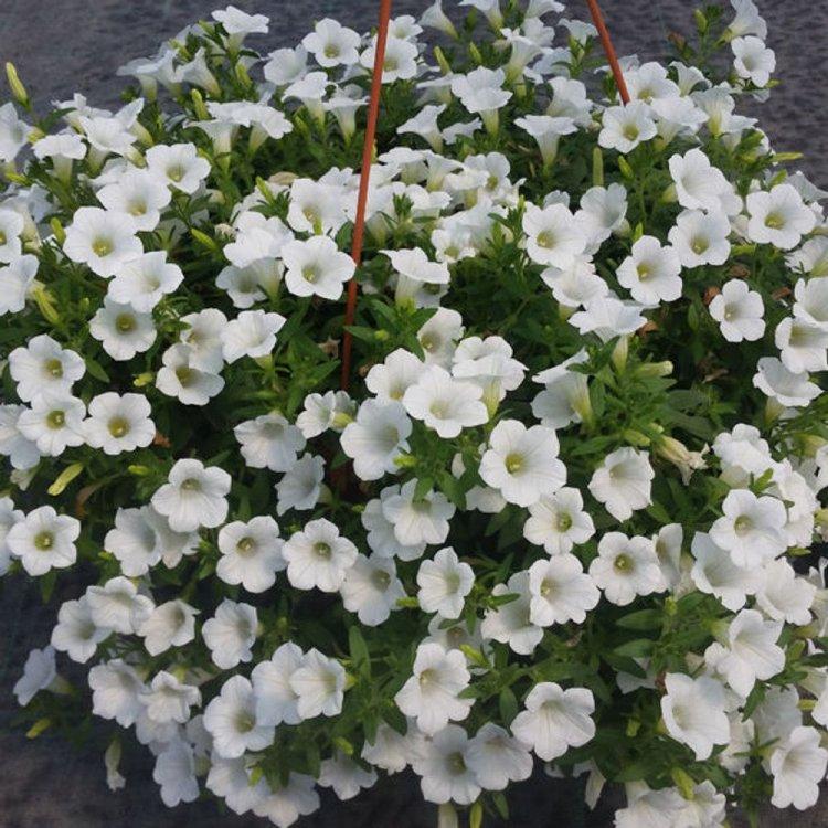 Петуния Лавина белая, семена цветов, Cerny, Чехия