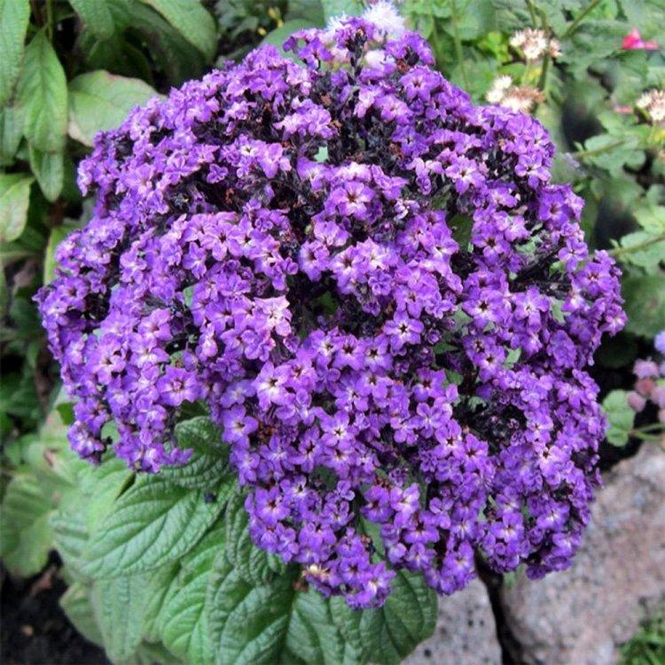 Гелиотроп древовидный Марине, семена цветов, Legutko, Польша