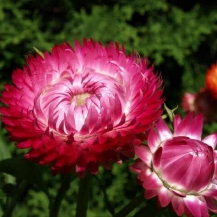Бессмертник насыщенно-красный, семена цветов, Legutko, Польша