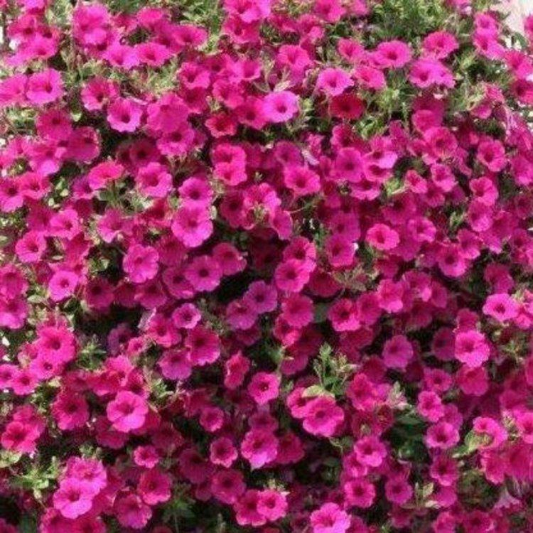Петуния Парпл Вельвет, семена цветов, Cerny, Чехия