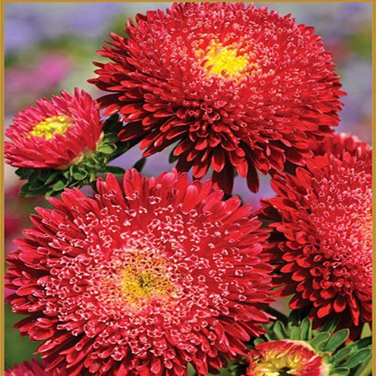 Астра Принцесса ярко-красная, семена цветов, Legutko, Польша.