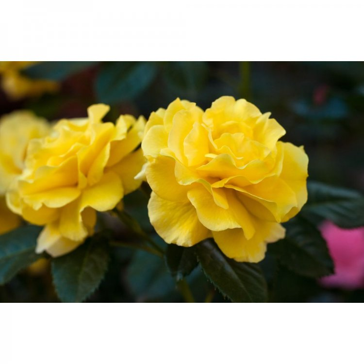 роза плетистая сорт казино