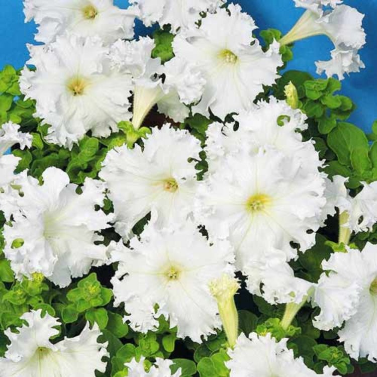 Петуния Афродита белая, семена цветов, Cerny, Чехия