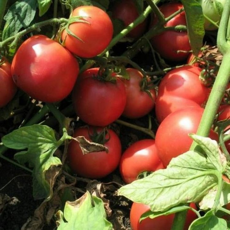 Томат Тарпан, ранний, семена, 100 штук, Nunhems, Голландия