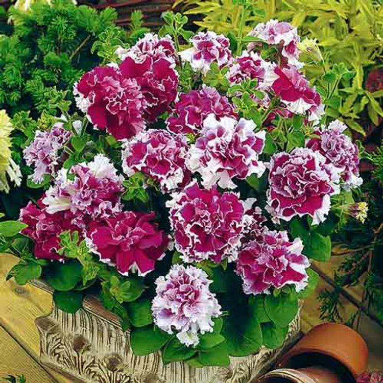 Петуния Пируэт пурпурна, семена цветов, Legutko, Польша.