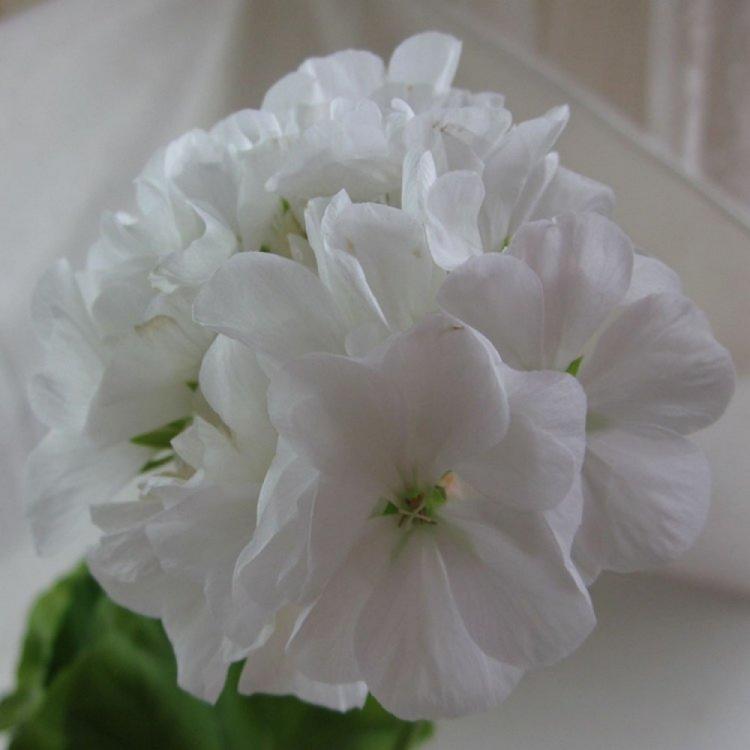 Пеларгония зональная Бланка F1 белая, семена, 50 штук, Cerny, Чехия