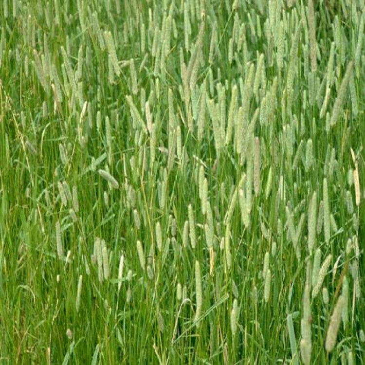Газонная трава Тимофеевка, семена, DLF Trifolium, Дания