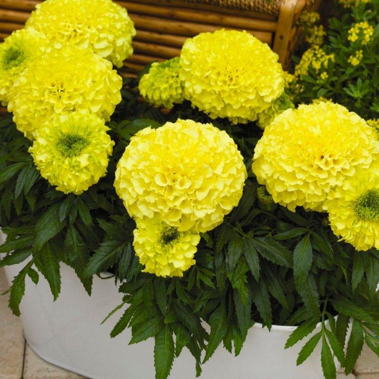 Бархатцы Антигуа, семена цветов, Legutko, Польша