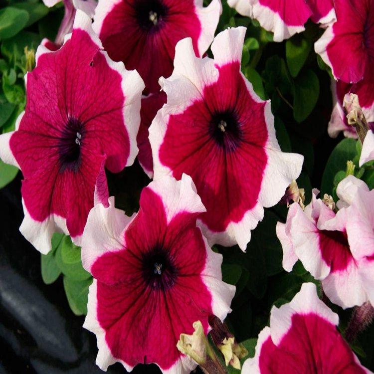 Петуния Хулахуп розовая, семена цветов, Legutko, Польша.