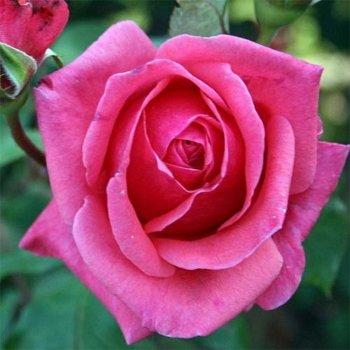 """Роза чайно-гибридная сорт """"Монтезума"""" розовая"""