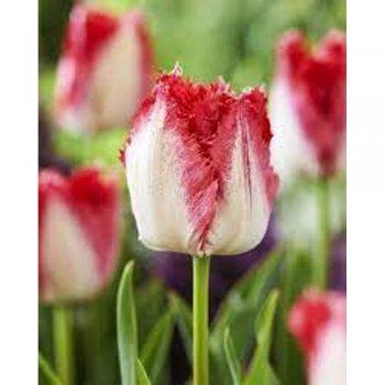 Тюльпан бахромчатый Свитс Парадайз (5 шт.)