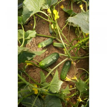 Огурец Саунд 50 семян Rijk Zwaan, Голландия