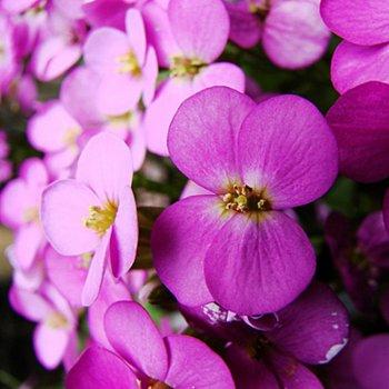 Арабис Альпийский, розовый, семена цветов, Legutko, Польша.