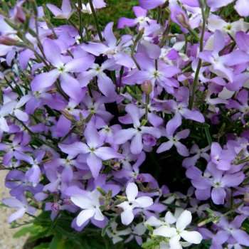 Маттиола двурогая Сенсация, семена цветов, Legutko, Польша.