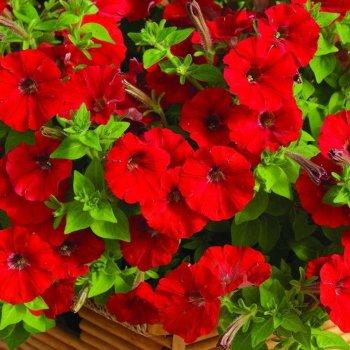 Петуния насыщено-красная, семена цветов, Legutko, Польша.