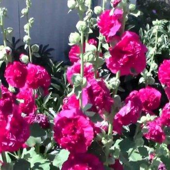 Мальва Шатер пурпурно-фиолетовая, семена цветов, Legutko, Польша.