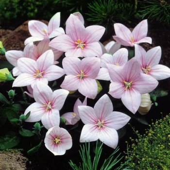 Платикодон  крупноцветковый розовый, семена цветов,  Legutko, Польша