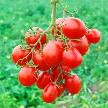 Томат Лампо, ранний, семена, 100 штук,  Nunhems, Голландия