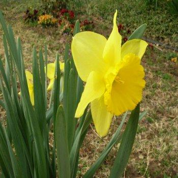 Нарцисс желтый 15 шт.