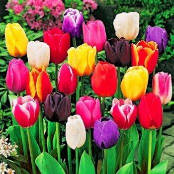 Тюльпаны Дарвина смесь, 25 шт.