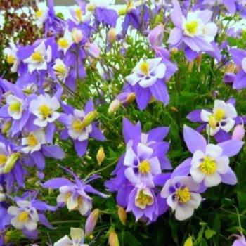 Аквилегия  Голубая звезда, семена цветов, Legutko, Польша
