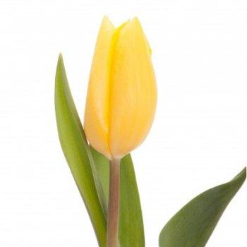 Тюльпан желтый 15 шт.