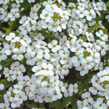 Арабис Альпийский, белый, семена цветов, Legutko, Польша.