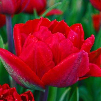 """Тюльпан """"Ред Принцесс"""" 5 шт."""