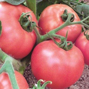 Биф-томат Пинк Уникум, розовый, ранний, семена, 10 штук, Seminis, Голландия