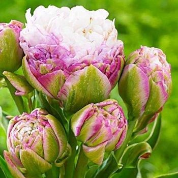 Тюльпан полный поздний Пеги Вандер (15 шт)