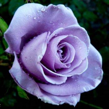 "Роза чайно-гиридная сорт ""Блю Мун"" голубая"