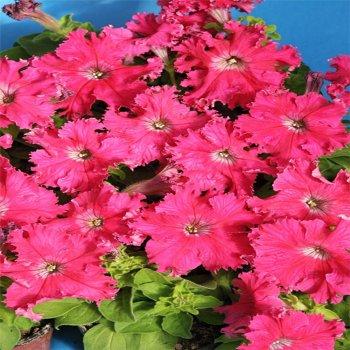 Петуния Афродита Розовая, семена цветов, Cerny, Чехия