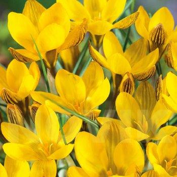 Крокус золотистый Фускотинктус (50 шт.)
