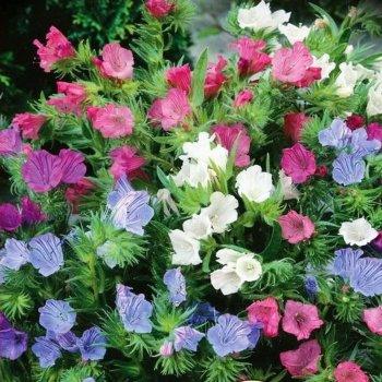 Синяк Подорожниковый, семена цветов, Legutko, Польша.