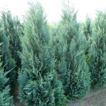 Кипарисовик Лавсона, семена древовидных, Legutko, Польша