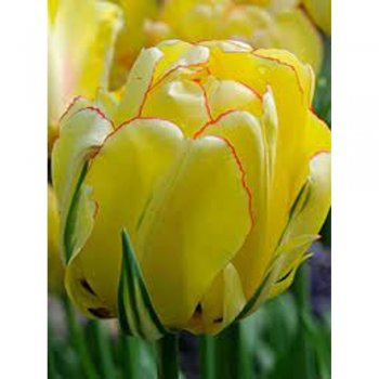 Тюльпан Дарвина полный Акебоно (5 шт.)
