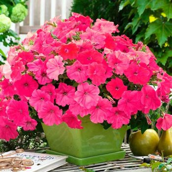 Петуния Салмон  Вельвет, семена цветов, Cerny, Чехия