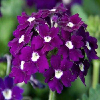 Вербена Сплендор, семена цветов, Legutko, Польша