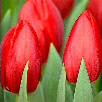 Тюльпан красный 15 шт.