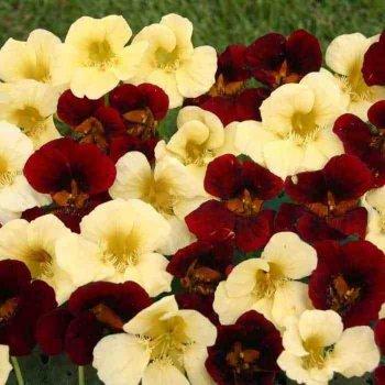 Настурция день и ночь, семена цветов, Legutko, Польша.