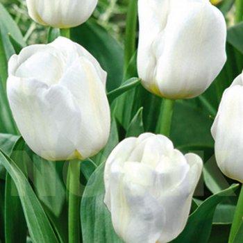 Тюльпан простой ранний Калгари (15 шт)