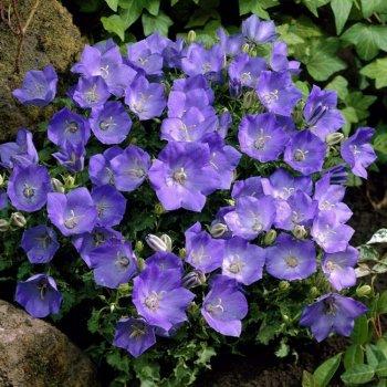 Колокольчик Карпатский голубой, семена цветов, Legutko, Польша