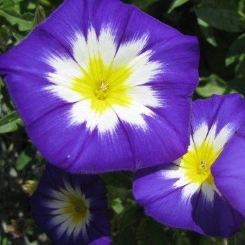 Ипомея трехцветная, семена цветов, Legutko, Польша.
