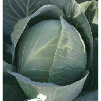 Капуста белокочанная Сунта, ранняя, Takii seeds, Япония