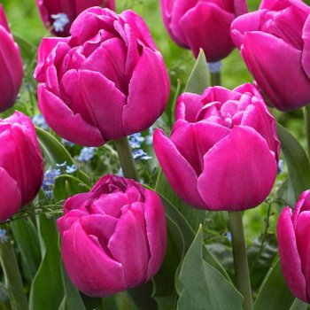 Тюльпан полный, поздний Дабл Ю (5 шт.)