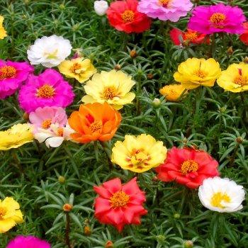 Портулак крупноцветковой, смесь, семена цветов, Legutko, Польша.