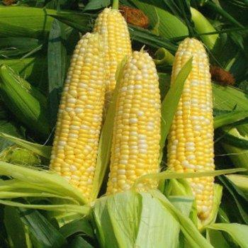 Свитстар F1 (Sweetstar F1) — семена кукурузы, SYNGENTA